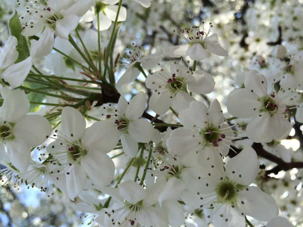 spring, bradford pear, recovery, postpartum anxiety
